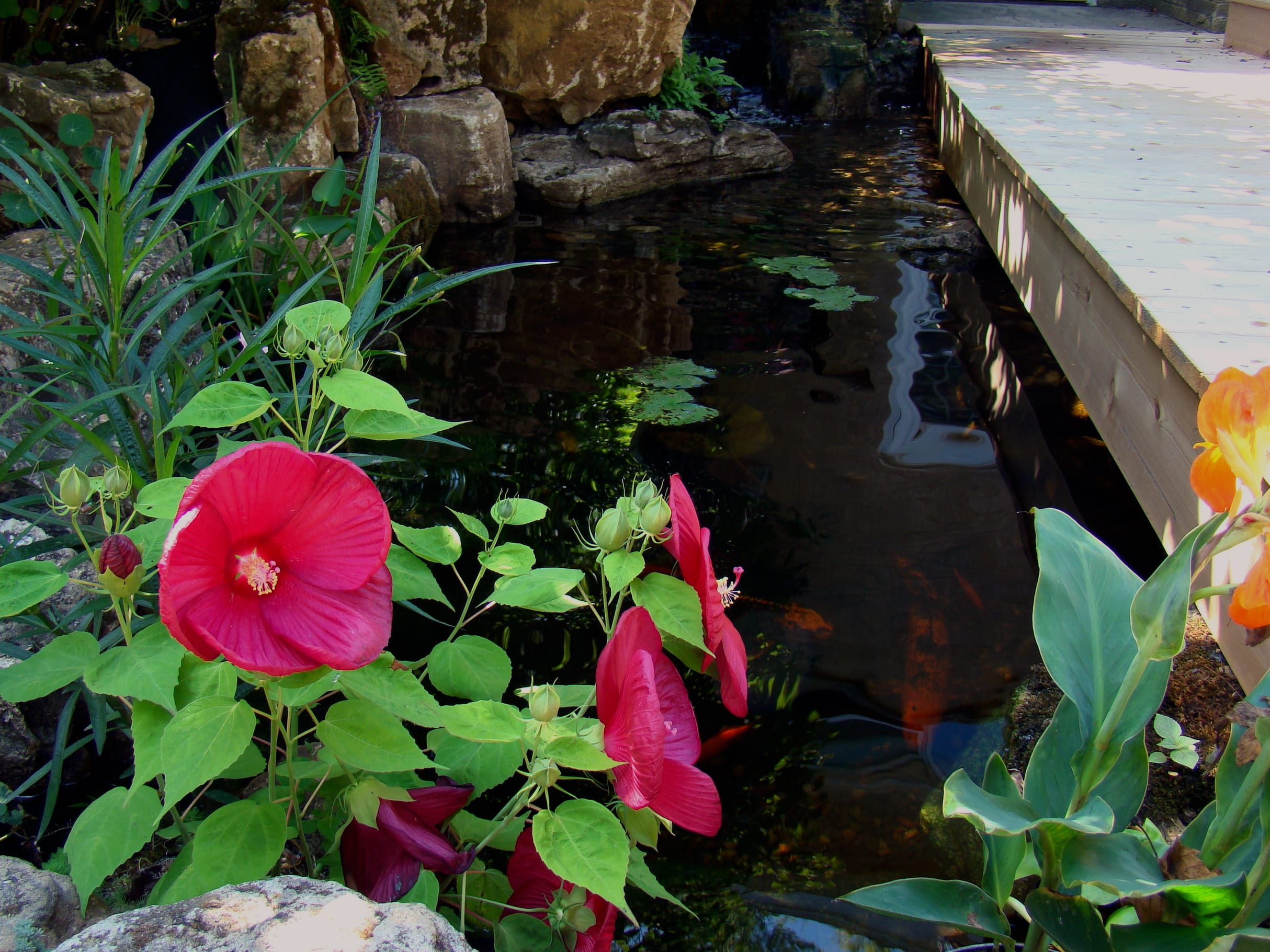 Small koi pond reflections water gardens for Koi pool water gardens thornton