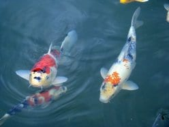 koi pond cleaning services
