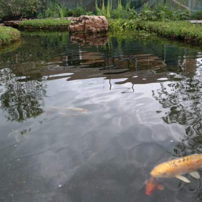 Protecting Your Koi Pond in the Winter